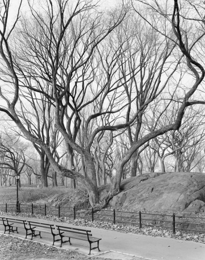 Mitch Epstein, American Elm, Central Park, New York, 2012, 2012.