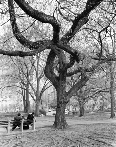 Mitch Epstein, American Elm, Central Park, New York, 2011, 2011.