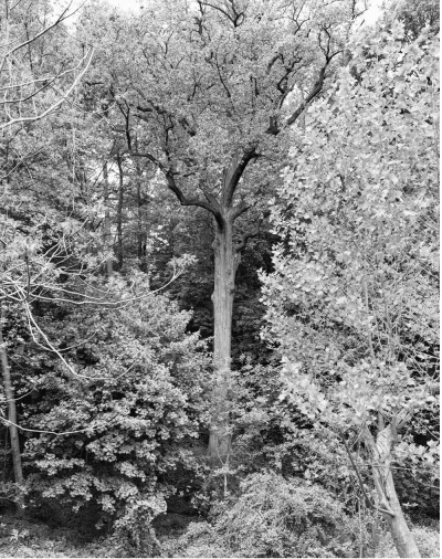 Mitch Epstein, Tulip Tree, Alley Ponds Park, Queens, 2011, 2011.