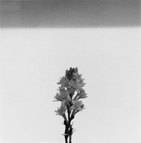 Robert Mapplethorpe, Tuberose, N.Y.C., 1977.
