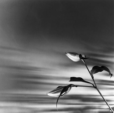 Robert Mapplethorpe, Buds (Lily), N.Y.C., 1977.