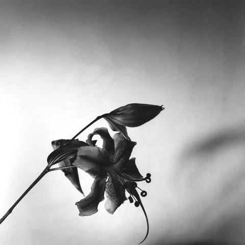 Robert Mapplethorpe, Lily, N.Y.C., 1977.