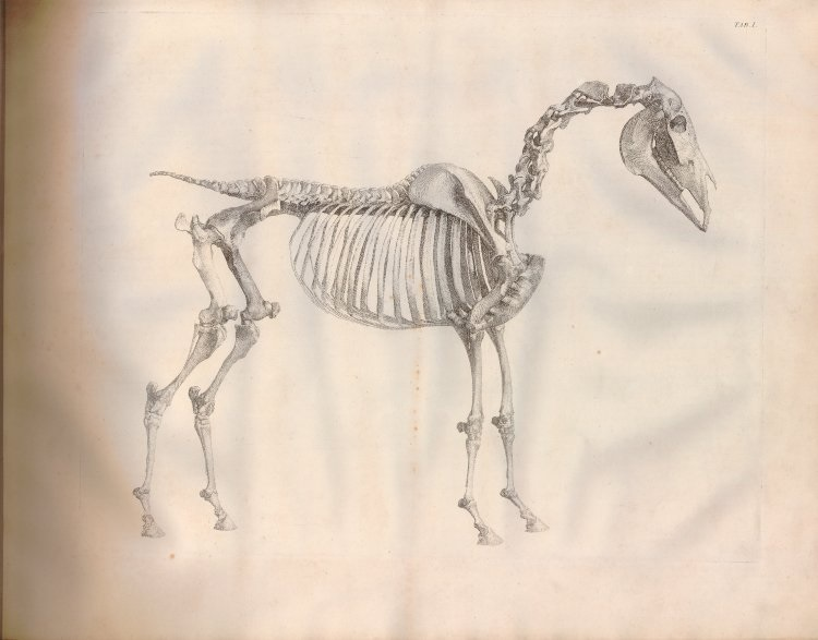 "George Stubbs, from ""The Anatomy of the Horse,"" 1766. Collection of the British Museum, London."