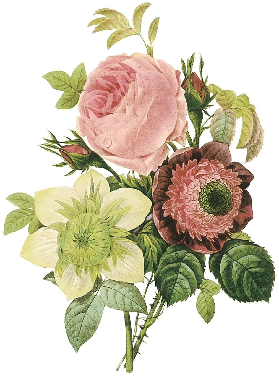 Pierre-Joseph Redoute, Centifolia rose, anemone, and clematis.