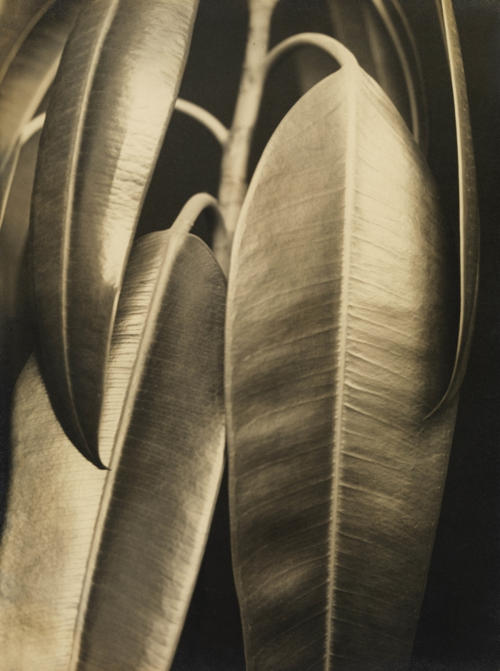 Aenne Biermann, Ficus Elastica: Rubber Plant, 1927.